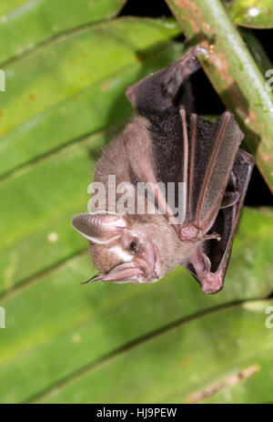 Tent-making bat (Uroderma bilobatum) - Stock Photo