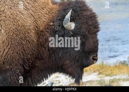 American bison (Bison bison) at Upper Geyser Basin - Stock Photo