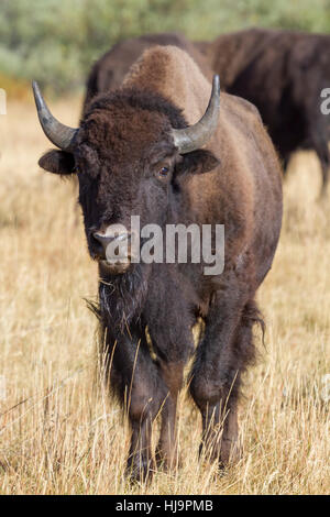 American bison at Grand Teton national park - Stock Photo