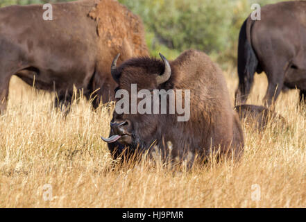 American bison at Grand Teton national park - Stock Photo