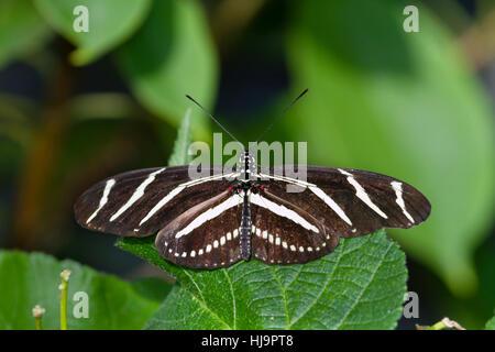 Zebra Longwing Butterfly - Stock Photo