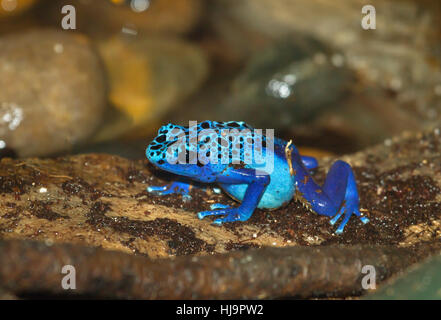 The blue poison dart frog  is very bright colored - Stock Photo