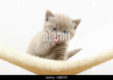 young animal, cat baby, kitten, pussycat, cat, domestic cat, macro, close-up, - Stock Photo