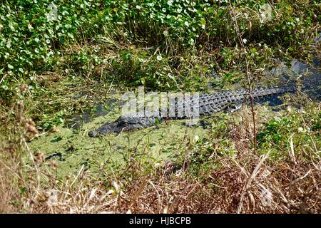 Alligator (A. mississippiensis) partially submerged in grassy swamp. Gainesville, Florida, USA - Stock Photo
