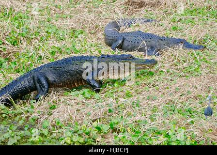 Alligators in the Sun (A. mississippiensis).  Very large alligator walking on all four legs. Gainesville, Florida, - Stock Photo