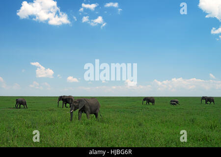 Group of African elephants in savanna - Stock Photo