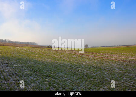 Young frost covered wheat crops in a scenic Yorkshire wolds landscape with trees and hedgerows under a blue cloudy - Stock Photo