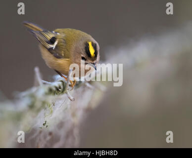 Goldcrest (Regulus regulus) looking for insects in sheep's wool on a barbed wire fence, Warwickshire - Stock Photo