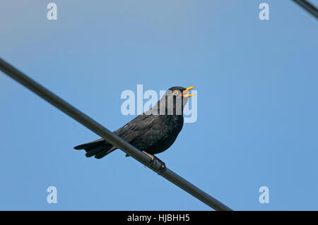 Blackbird (Turdus merula) adult male singing from perch on overhead cables. Cambridgeshire, England. April. - Stock Photo
