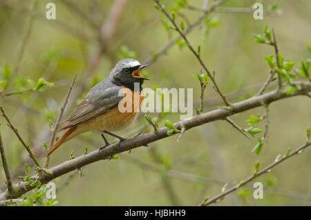 Common redstart (Phoenicurus phoenicurus) adult male in spring plumage, singing in woodland. Wales. May. - Stock Photo