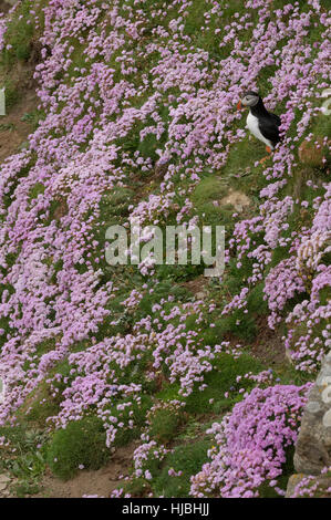 Atlantic puffin (Fratercula arctica) summer adult on sea cliff among flowering thrift or sea pink (Armeria maritima). - Stock Photo