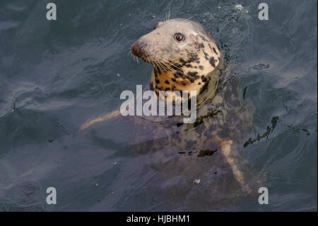 Atlantic grey seal (Halichoerus grypus) in Lerwick harbour, Shetland Isles. October 2012. - Stock Photo