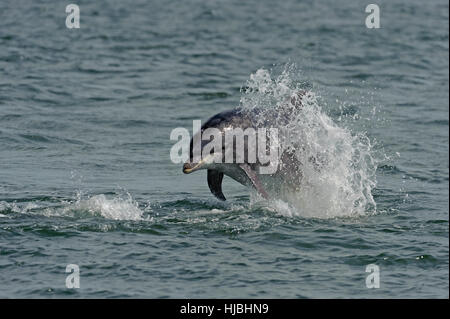 Bottlenose dolphin (Tursiops truncatus) breaching. Moray Firth, Scotland. July 2013. - Stock Photo