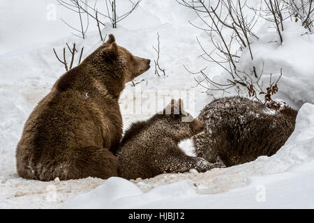 Female and two 1-year-old brown bear cubs (Ursus arctos arctos) entering den in the snow in winter - Stock Photo