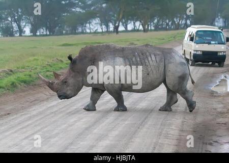 White rhino crossing the road in Lake Nakuru National Park, Kenya - Stock Photo