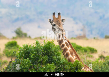 Close view of giraffe at Masai Mara National Reserve, Kenya - Stock Photo
