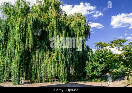Ancient large willow tree on background of the sunny sky - Stock Photo