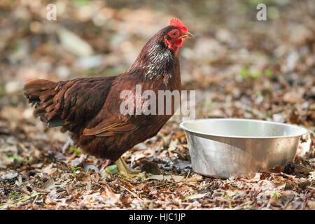 Rhode Island Red Hen, domestic fowl (Gallus gallus domesticus). - Stock Photo