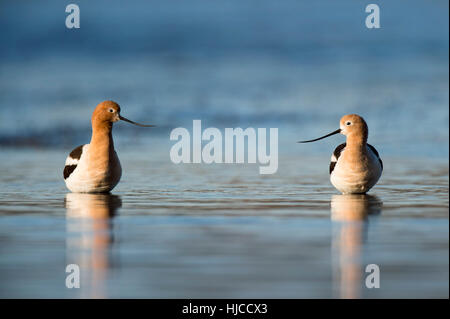 A pair of American Avocets stand in the shallow water as the early morning sun lights them up on a clear spring - Stock Photo