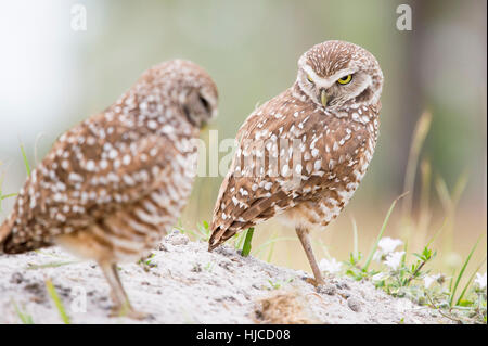 One of a pair of owls looks at the other with an angry stare. - Stock Photo