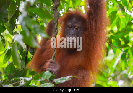 Orangutan in the jungle in Bukit Lawang, Sumatra, Indonesia - Stock Photo