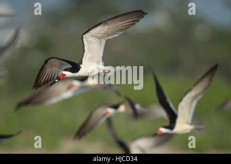 A Black Skimmer flies with a fish in its beak in front of a flock of other Skimmers. - Stock Photo