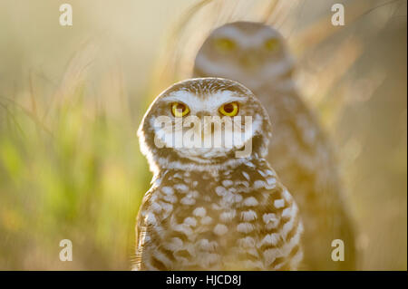 One Florida Burrowing Owl stands in front of another as the bright sun shines from behind the pair. The bird's bright yellow eyes stand out.