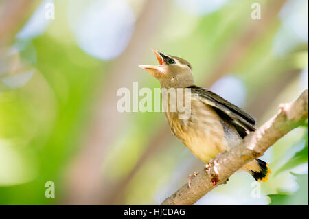 A young Cedar Waxwing calls loudly for food from its parents. - Stock Photo