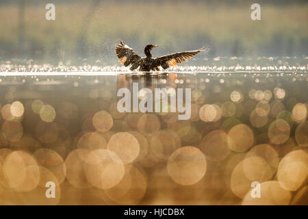 A Double-crested Cormorant flaps its wings dry as the early morning sun lights up the bird and small bubbles on - Stock Photo
