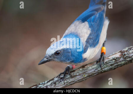 A close up of a curious Florida Scrub Jay perched on a branch. - Stock Photo