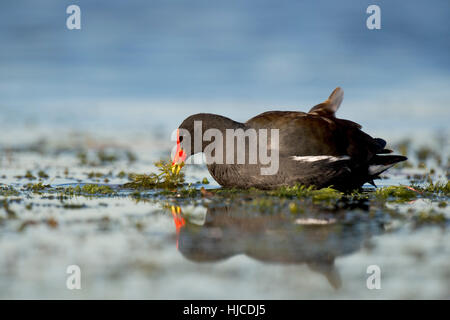 A Common Gallinule feeds on water vegetation in the shallow water with a reflection of the bird. - Stock Photo