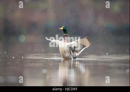 A male Mallard duck flaps its wings while sitting on the water in a spring rain. - Stock Photo