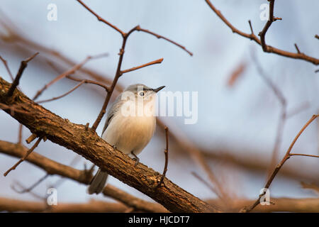 The soft early morning sunlight shines on a Blue-Gray Gnatcatcher as it sits perched on bare tree branch. - Stock Photo