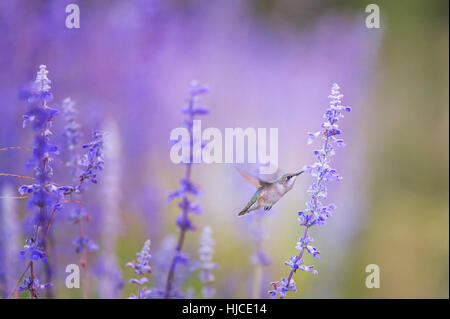A female Ruby-throated Hummingbird feeds on some purple flowers early in the morning before the sun has even started - Stock Photo