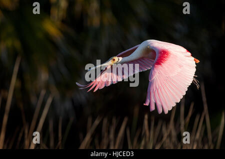 A Roseate Spoonbill flies in front of a dark background as the early morning sun lights up its bright pink wings. - Stock Photo