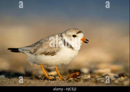 A small endangered Piping Plover stands on a sandy beach as the early morning sunlight shines on it. - Stock Photo