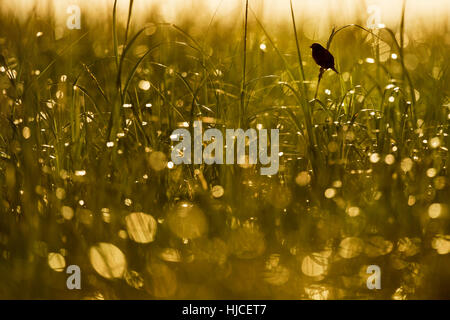 A Seaside Sparrow perches high on some tall marsh grass in the morning sun. - Stock Photo