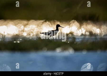 A Greater Yellowlegs is silhouetted against the reflection of the bright sun on the water on a sunny day. - Stock Photo