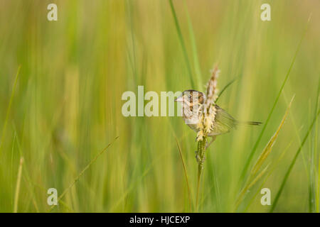 A Seaside Sparrow perches on some marsh grass surrounded by green. - Stock Photo
