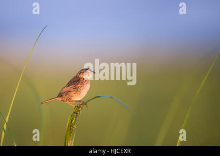 A Seaside Sparrow perches on the green marsh grasses just as the rising sun shines on the bird early in the morning. - Stock Photo