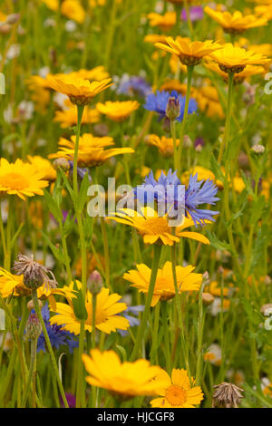 A carpet of yellow and red wild meadow flowers highlighted against a wild flower colorful summer meadow with red poppies daisies blue cornflowers green grass mightylinksfo