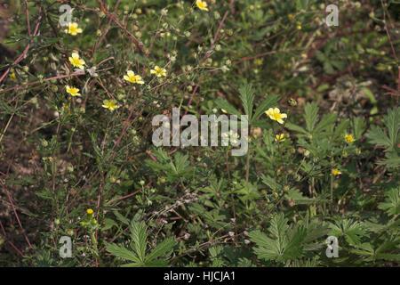 Silber-Fingerkraut, Silberfingerkraut, Fingerkraut, Potentilla argentea, Hoary Cinquefoil, Silver Leaf Cinquefoil - Stock Photo