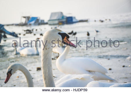 Swans and winter.  Snow and ice around the swans. Swans are birds of the family Anatidae within the genus Cygnus. - Stock Photo
