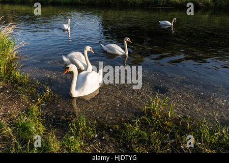 Group of graceful white mute swans during sunset on small lake with clear water, Slovakia - Stock Photo