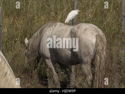 Cattle Egret, Bubulcus ibis, on the back of Camargue, White Horses, Camargue, France. - Stock Photo