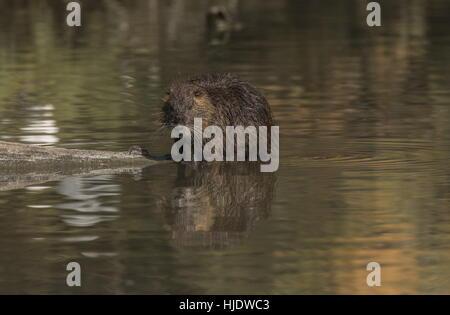 Coypu, Myocastor coypus in lake, Camargue, France. - Stock Photo