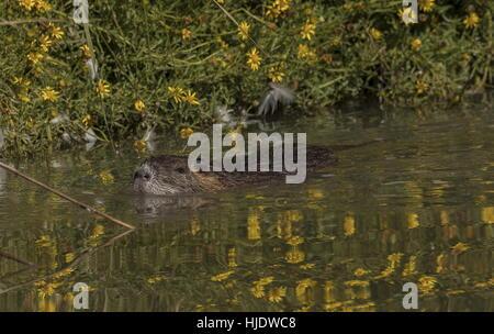 Coypu, Myocastor coypus swimming in lake, Camargue, France. - Stock Photo