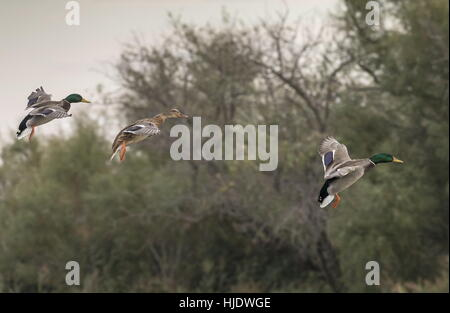 Mallard, Anas platyrhynchos, group coming into land on lake. - Stock Photo