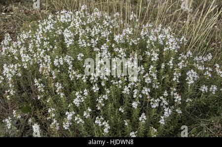 Winter savory, Satureja montana, in flower in autumn, Provence. - Stock Photo