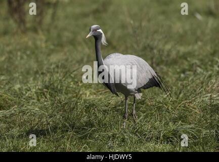 Demoiselle crane, Grus virgo, in grassland in autumn. - Stock Photo